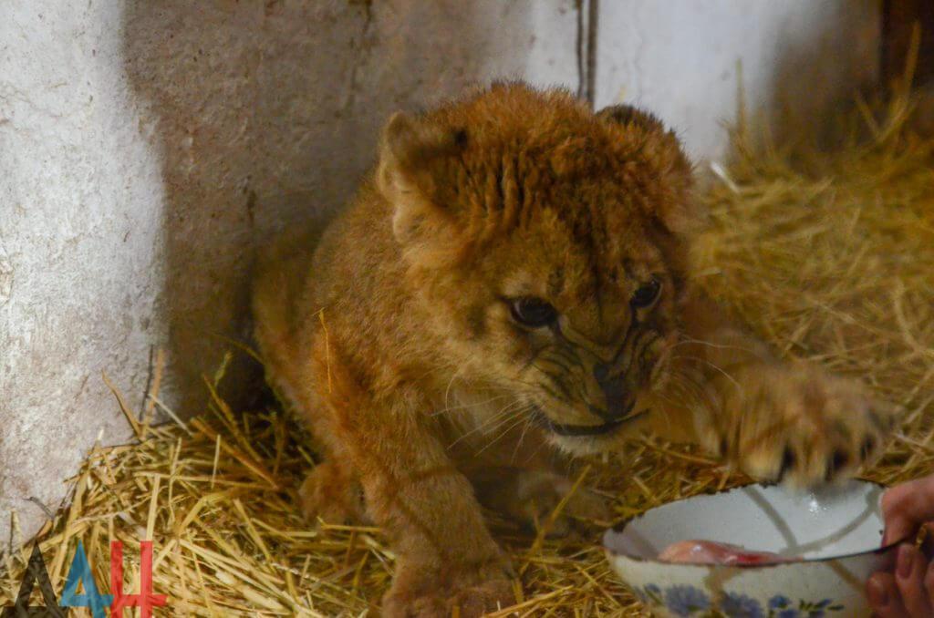 В ДНР родился первый львенок